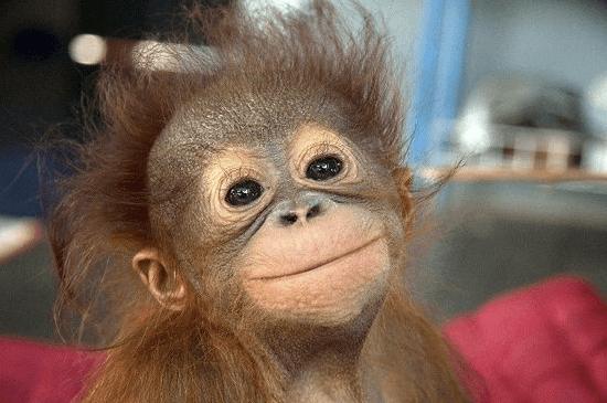 обезьяна видит, обезьяна делает