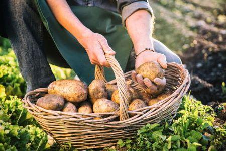 выбрать картофель