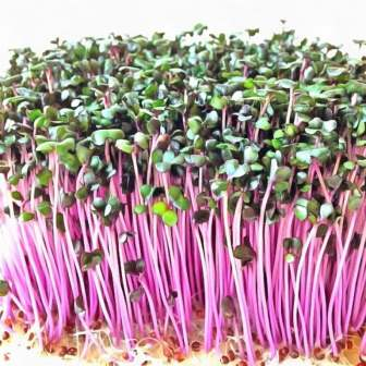 микрозелень капуста