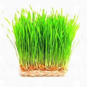 микрозелень пшеница
